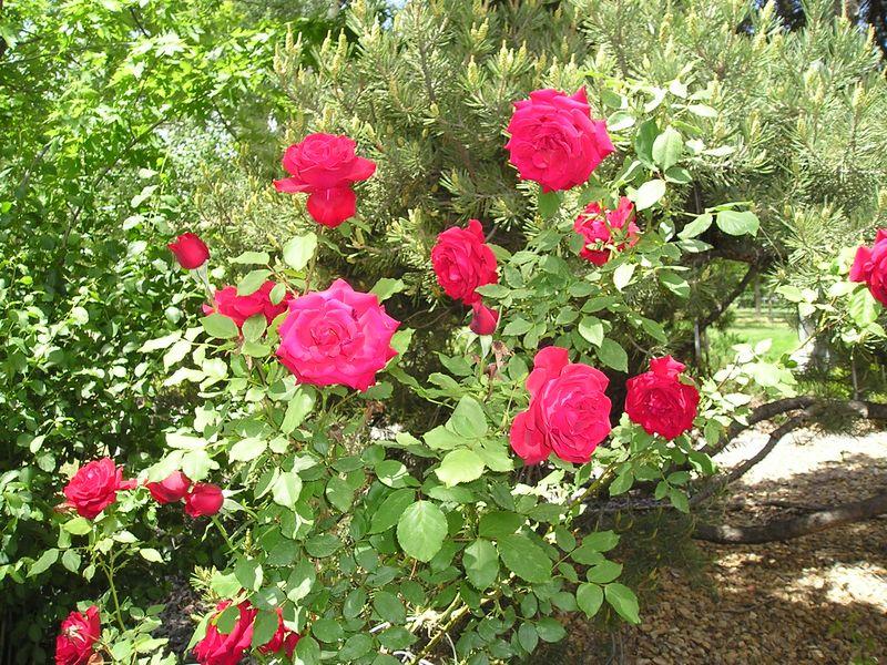Roses KCrowley