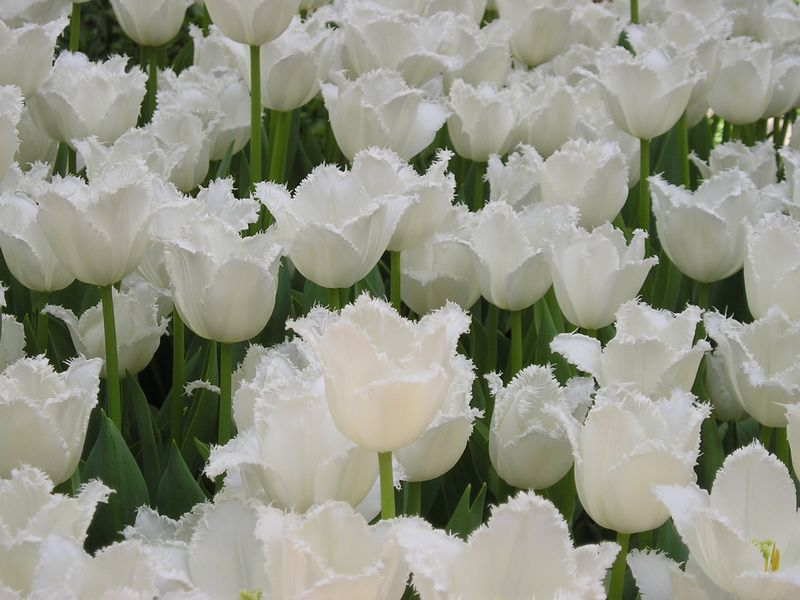 Tulips KCrowley 10